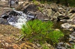 Liten gran förgrena sig och vaggar i vatten på den svarta flodklyftan Arkivbilder