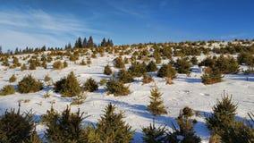 Liten gran i vinter Arkivfoton
