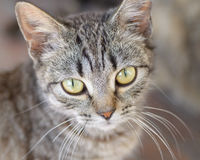 Liten Gray Kitten eller katt Arkivbild