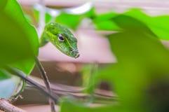 Liten grön vinrankaorm som kamoufleras Fotografering för Bildbyråer