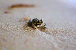 Liten groda på sanden på havsstranden Gulingen färgar version Amphi Arkivfoto