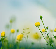 Liten gul ängblommor och himmel Fotografering för Bildbyråer