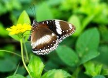 Liten gul blomma för stor brun fjäril fotografering för bildbyråer