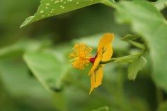 Liten gul blomma med glödtrådar Arkivbild