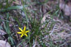 Liten gul blomma på grönt gräs Royaltyfri Bild