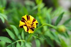 Liten gul blomma, ringblommor, blomningväxter Arkivfoto
