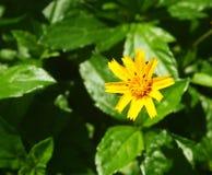 Liten gul blommablom Arkivbilder