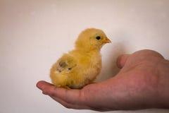 Liten gul fågelunge i gömma i handflatan av din hand Fotografering för Bildbyråer