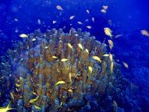 Liten gul fisk som simmar nära koraller Royaltyfri Foto