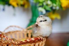 Liten gul höna på träkorgen, både av fågelungar som är nyfödd av höna royaltyfri foto