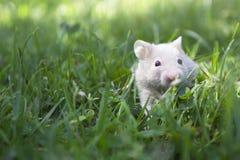 Liten guld- hamster i gräset arkivfoton