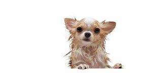 Liten gullig brun chihuahuahund som väntar i bada, når att ha tagit a fotografering för bildbyråer