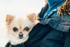 Liten gullig chihuahuahund i armar Den gulliga unga valpen, stora ögon, är Royaltyfria Bilder