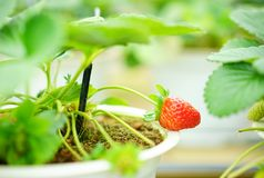 Liten gullig enkel jordgubbe Arkivbild