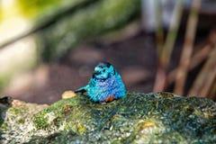 Liten gullig fågel med blåa fjädrar arkivbild
