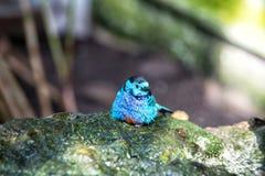 Liten gullig fågel med blåa fjädrar fotografering för bildbyråer