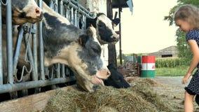 Liten gullig flicka som ger grönt gräs till den svartvita kon och att skratta Djur matning, Eco lantbrukbegrepp som är långsamt stock video