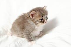 liten gullig kattunge Royaltyfri Foto
