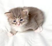 liten gullig kattunge Royaltyfri Bild