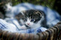 Liten gullig kattunge i korgen royaltyfri bild