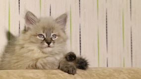 liten gullig kattunge som ligger på soffan lager videofilmer