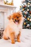 Liten gullig rolig pomeranian hund som sitter på soffan på julgranbakgrund royaltyfria foton