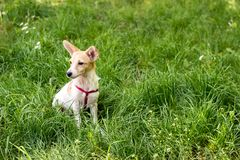 Liten gullig vit hund som sitter i gr?set arkivfoton