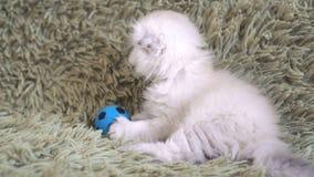 Liten gullig vit kattunge som spelar på fotboll lager videofilmer