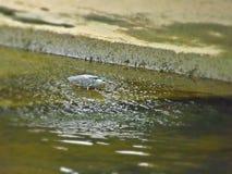 Liten häger i flodkanal Fotografering för Bildbyråer