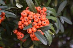 Liten härlig blommabuske med liten röd frukt Arkivfoto