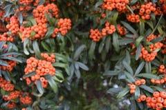 Liten härlig blommabuske med liten röd frukt och en spindelrengöringsduk i mitt Arkivfoton