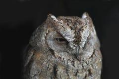 Liten härlig owl 1 royaltyfria foton