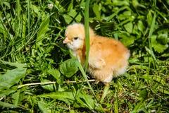 Liten höna som vårsymbol i grönt gräs Fotografering för Bildbyråer