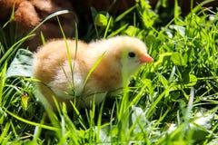 Liten höna som vårsymbol i grönt gräs Royaltyfri Fotografi