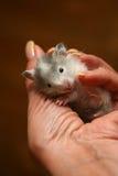 liten hamster 5 Arkivfoto