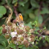 Liten Heath Butterfly Coenonympha pamphilus royaltyfri foto