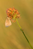 Liten hed (den Coenonympha pamphilusen) på solen Arkivfoto