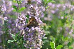 Liten hed för fjäril arkivbild