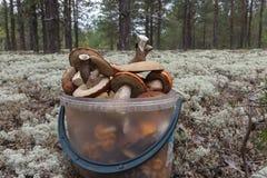 Liten hink med champinjoner Siberia Ryssland Arkivfoton