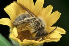 liten honungsbi som poserar i gult vila f?r blomma royaltyfri foto