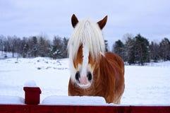 Liten hästframsida framme av en pinjeskog i vinter Royaltyfri Foto