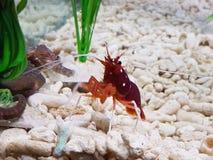 Liten hummer i ett akvarium royaltyfri foto