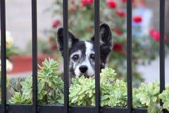 Liten hund bak porten Arkivfoto
