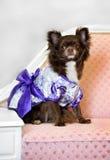 Liten hund för glamour på sofaen Arkivbilder