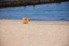 Liten hund för Pomeranian Spitz royaltyfri fotografi