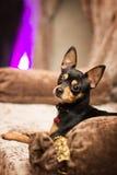 Liten hund för Prazsky (Prague) krysarik i klubba rattler arkivbild