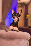 Liten hund för Prazsky (Prague) krysarik i klubba rattler royaltyfri foto