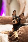 Liten hund för Prazsky (Prague) krysarik i klubba rattler arkivbilder