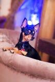 Liten hund för Prazsky (Prague) krysarik i klubba rattler royaltyfria foton