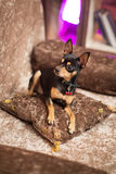 Liten hund för Prazsky (Prague) krysarik i klubba rattler arkivfoto